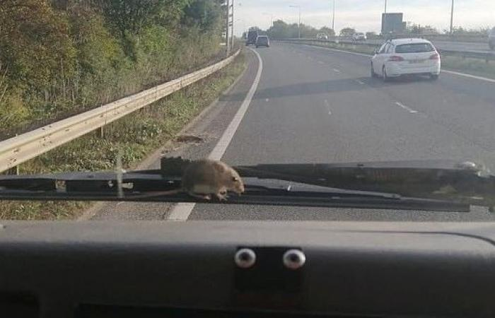 فيديو.. فأر يفاجئ سيدة أثناء قيادتها بسرعة 90 كم