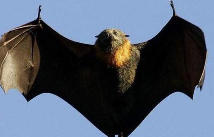 خفاش يثير أزمة دبلوماسية بين الصين وكندا