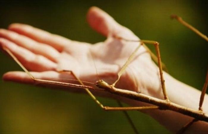 حقائق مدهشة عن الحشرة العصوية.. اكتشفها