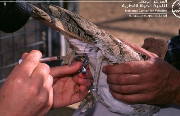 «الحياة الفطرية»: خطة لإنتاج 5 آلاف طائر حباري سنويًا.. موروث ثقافي هام